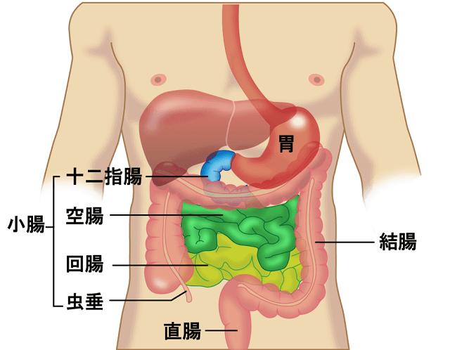 小腸の構造のイラスト