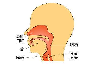 呼吸器系のイラスト