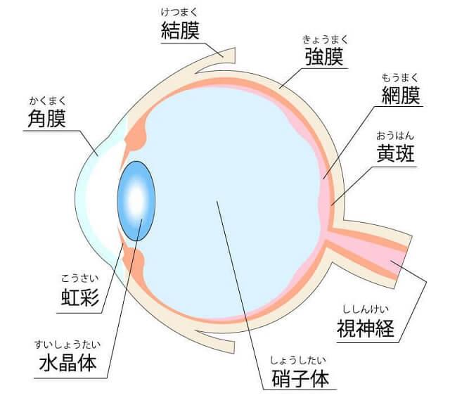 目の構造のイラスト