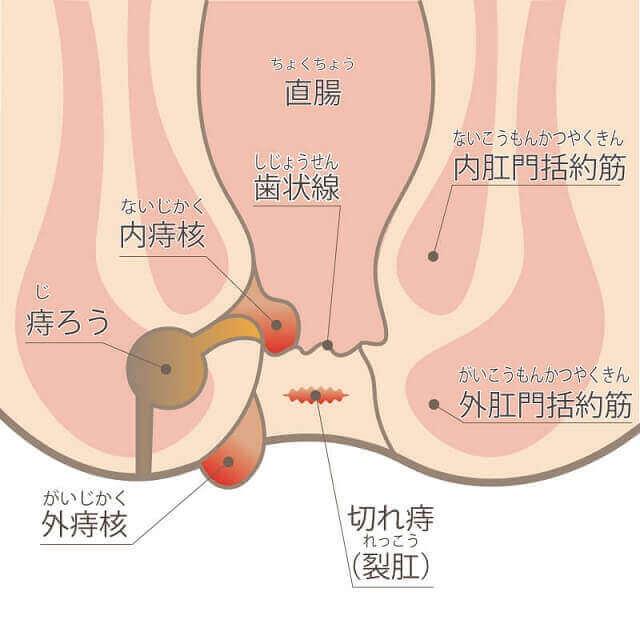 肛門の構造のイラスト