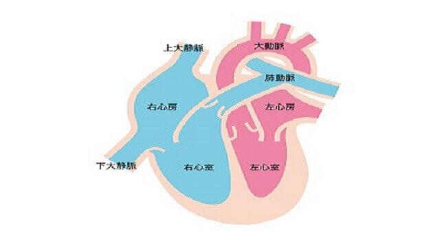心臓の構造のイラスト