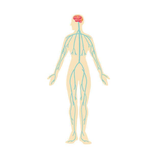 全身を通る神経系のイラスト